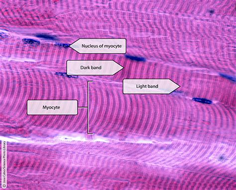 Staining the Small Stuff: Why Histology is Awesome