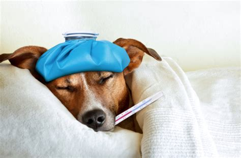 What Can I Give My Dog for Pain?   Healthy Paws Pet Insurance